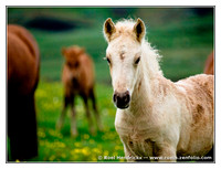 Animals: Icelandic Horses, Jul 2011