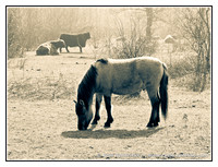 Animals: Konik & Galloway, Mar 2012