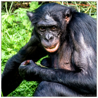 Animals: Bonobo, Sep 2014